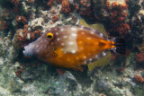 White-spotted Triggerfish