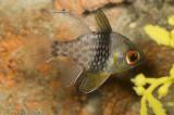 Spotted Cardinalfish