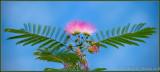 AA-Open-Mimosa In Flight