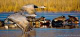 AA-open-Sandhill Cranes