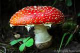 B-Open-Red Mushroom