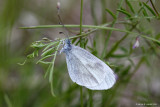 Enghvidvinge (Leptidea reali)