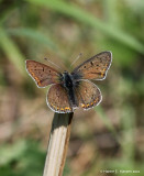 Sort ildfugl (Lycaena tityrus)