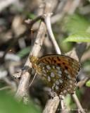 Markperlemorsommerfugl (Argynnis aglaja)
