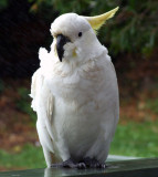 Wet cockatoo