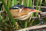 Male Least Bittern