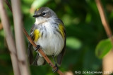 Yellow-rumped Warbler, (Myrtle)