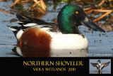 Northern Shoveler