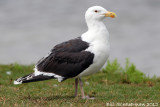 Great Blackbacked Gull