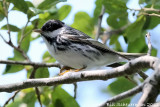 Black-poll Warbler