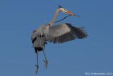 Nesting Great Blue Heron
