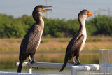 Great Cormorant & Double-crested Cormorant