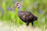 Young Limpkin