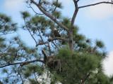 The neighbor Eagle's nest