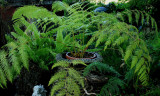 Cibotium schiedei (A type of Tree Fern)
