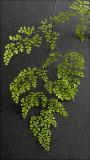 Adiantum  ~ Maidenhair Ferns~