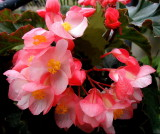 Begonia Hannah Serr  ~Angel Wing Begonia~
