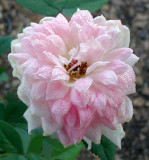 Pink Poodle Rose  ~as the flowers age the petals  curve downward~