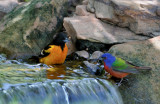 Baltimore Oriole & Painted Bunting