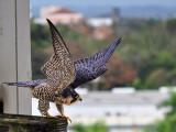 A falcon lost in the city