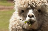 Baby Alpaca pacifier