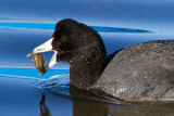 1/1/2012  Coot with clam
