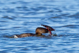 1/28/2012  Grebe trying to eat a crawfish