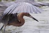 2/10/2012  Reddish Egret