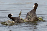 2/20/2012  Fighting coots