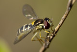 4/17/2012  Hover fly