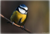 Blue Tit, Barnwell Country Park, Oundle. UK