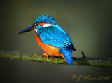 Kingfisher. Barnwell Country Park. Oundle. UK