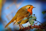 Robin. Barnwell Country Park. Oundle. UK