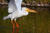 Pelican ballet _MG_7548.jpg