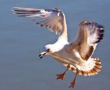 Seagull landing  _MG_3026.jpg