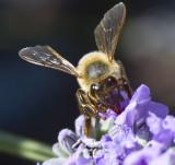 Bees breakfast _MG_9503.jpg