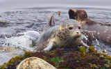 Young seal climbing out of water  _MG_0392.jpg