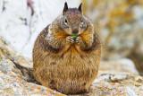 Sumo Squirrel _MG_9318.jpg