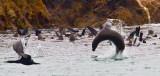 Flying sea lion  _MG_4163.jpg