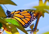 Monarch profile  _MG_3187.jpg