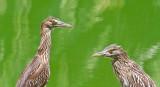 Birds and green water  _MG_0562.jpg