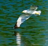 Banking seagull _MG_4040.jpg