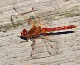Red dragonfly _MG_5865.jpg