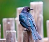 Bird Blue Black _MG_9304.jpg