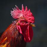 Complex chicken _MG_6040.jpg