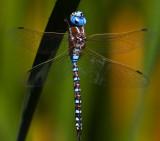 Blue dragonfly _MG_7757.jpg