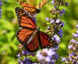 Two Monarchs _MG_7858.jpg