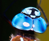 Dragonfly eyes _MG_7791.jpg