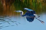 Heron thinking about landing _MG_7281.jpg
