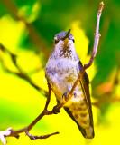 Hummingbird resting _MG_8051.jpg